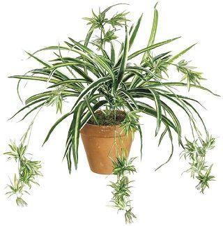 http://inyaz-mama.ru/wp-content/uploads/2015/05/spider-plant.jpg